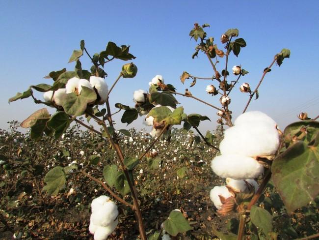 cotton-crop-265312_960_720