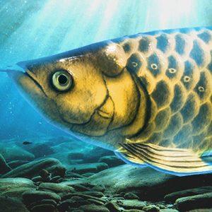 稚魚から育てるアロワナ(飼育ゲーム)